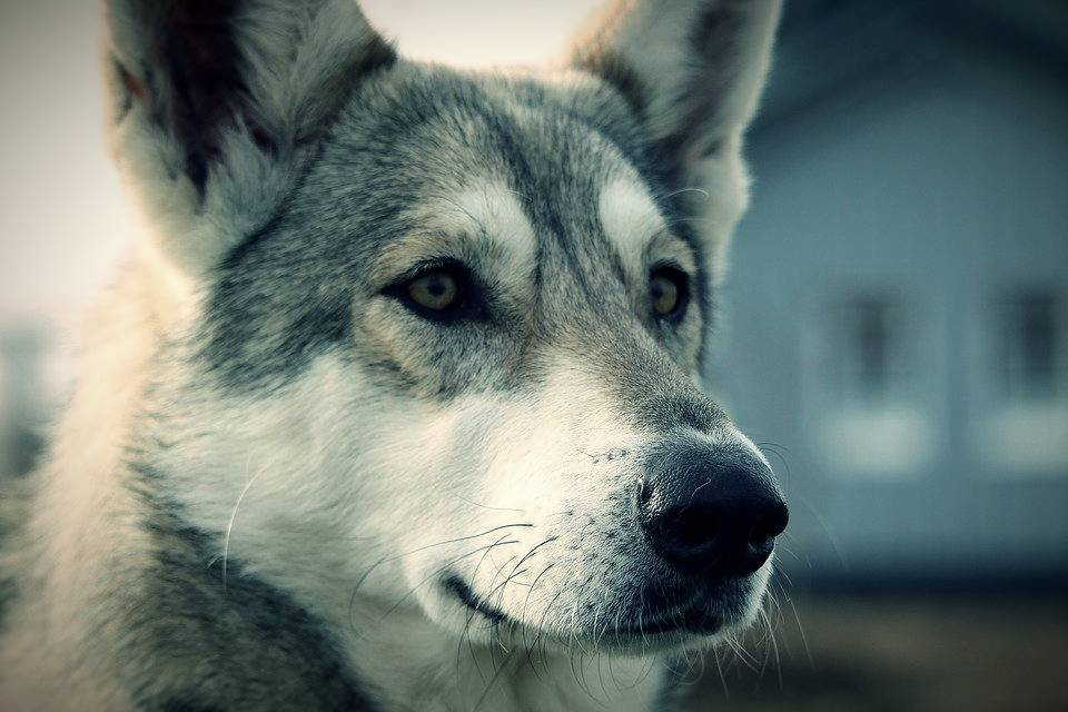 World's Second German Wolf Dog New Crown Virus Test Positive