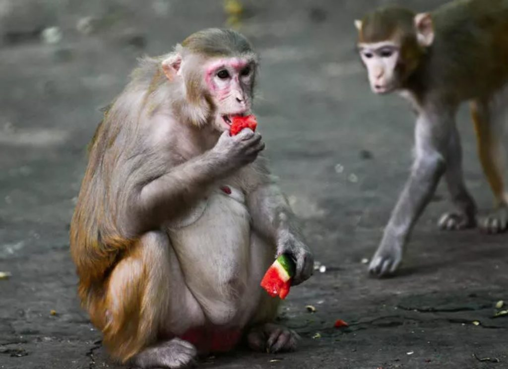 Good news! Monkeys recovered from infection with new coronavirus develop immunity